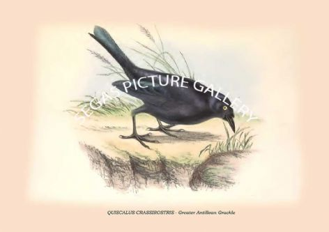 Fine art print of the QUISCALUS CRASSIROSTRIS - Greater Antillean Grackle by Philip Henry Goose (1849)